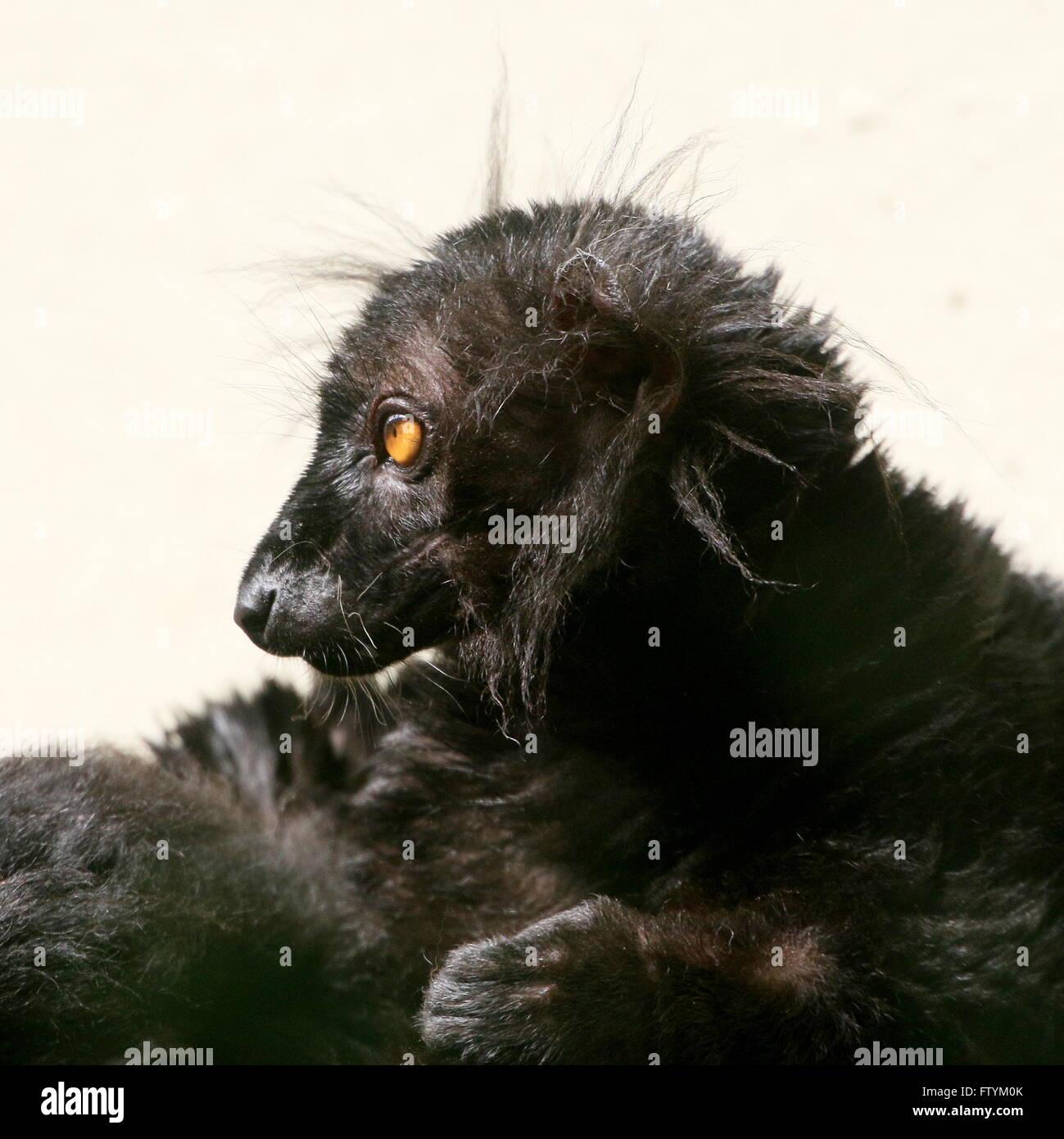 Close-up of a male Madagascan Black lemur (Eulemur macaco) - Stock Image