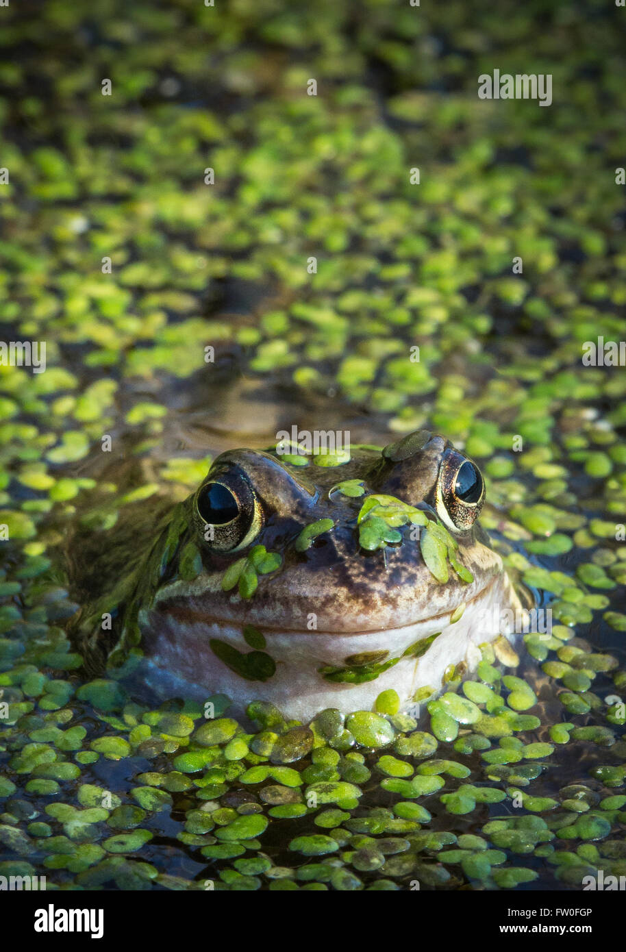 A Common Frog (Rana temporaria) surfaces amongst the weeds on a pond in spring - Stock Image
