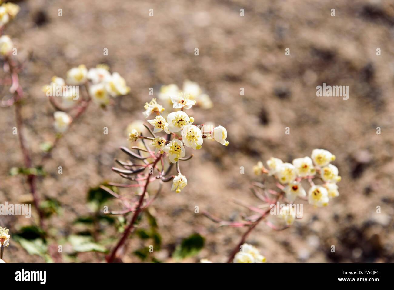 White Desert Flowers Close To Ground Stock Photo 101432972 Alamy