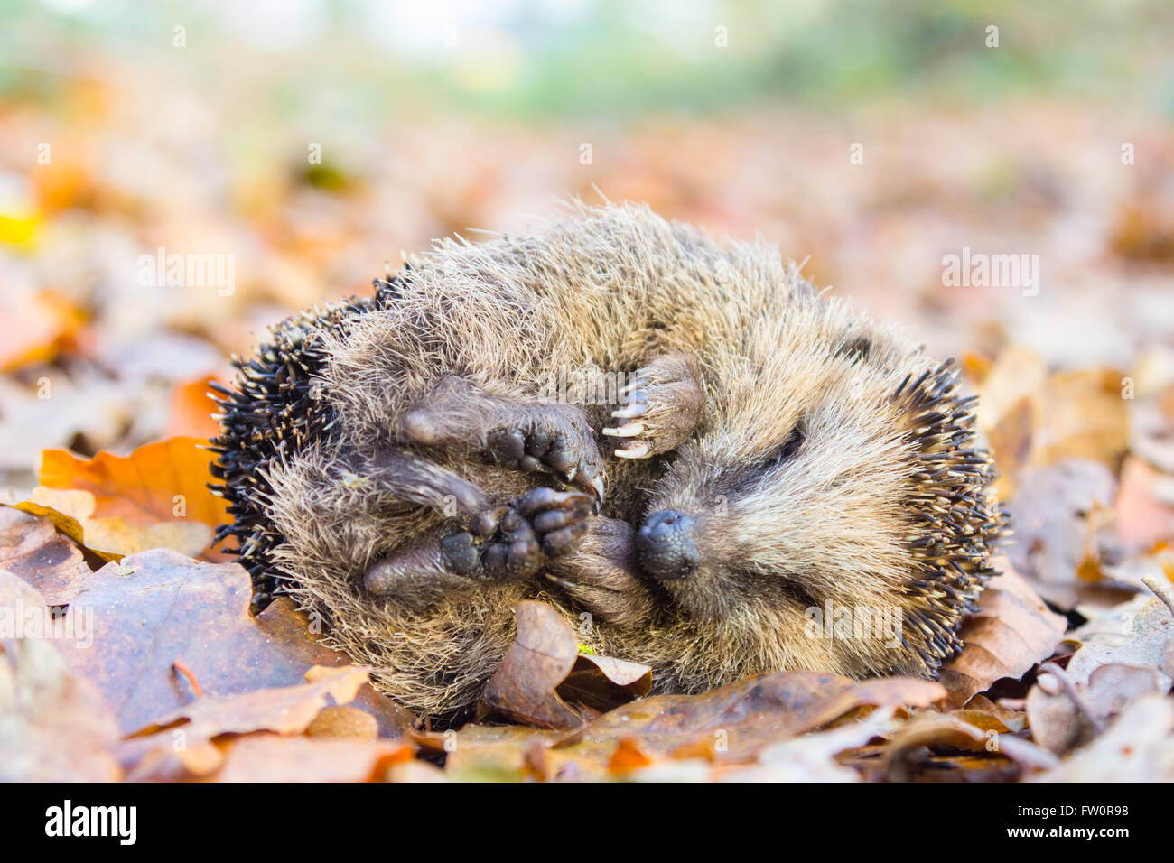 Curled up hedgehog lying and sleeping on autumn leaves in forest Stock Photo