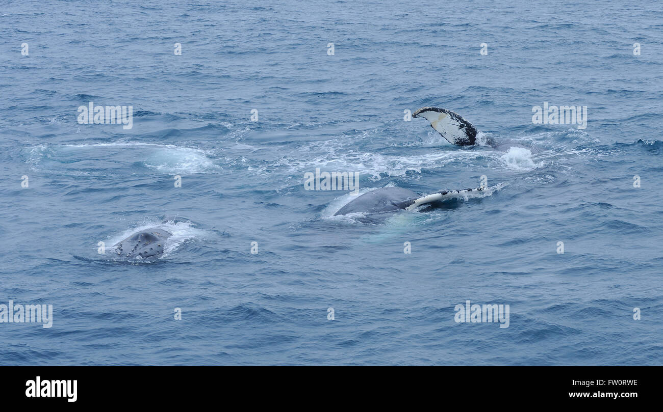 Three humback whales (Megaptera novaeangliae) swim together and appear to be playing by rolling onto their backs - Stock Image