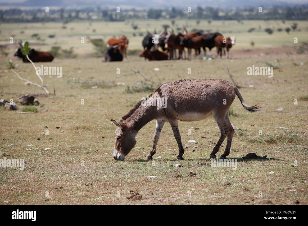 Between Mojo and Ziway, Ethiopia, October 2013: Kumar, 42, grazing his own and his neighbour's animals. He has three - Stock Image