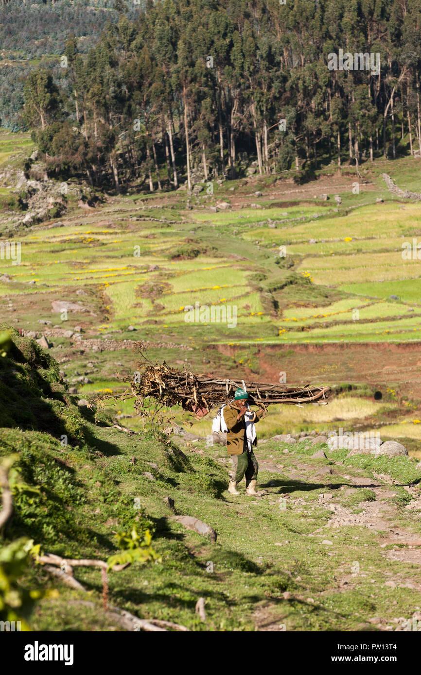 Furamariam village, Debele, Amhara, Ethiopia, October 2013:  A farmer carrying coppiced eucelyptus. - Stock Image