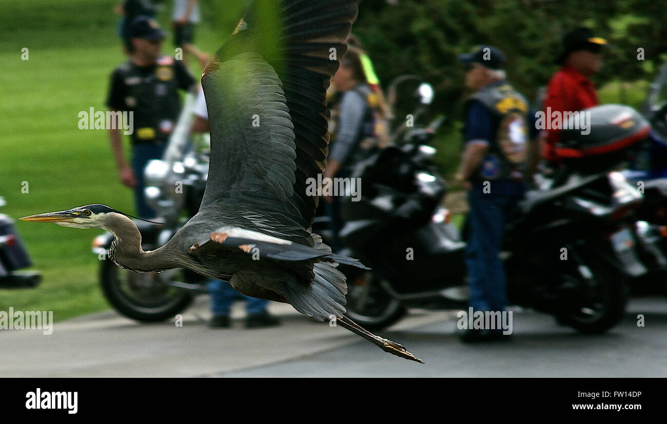 Paired Bird Stock Photos Images Alamy Giant Atx Se 2 2014 S Blue Wht Gry Topeka Kansas Usa 26th May Great Heron Takes Off And