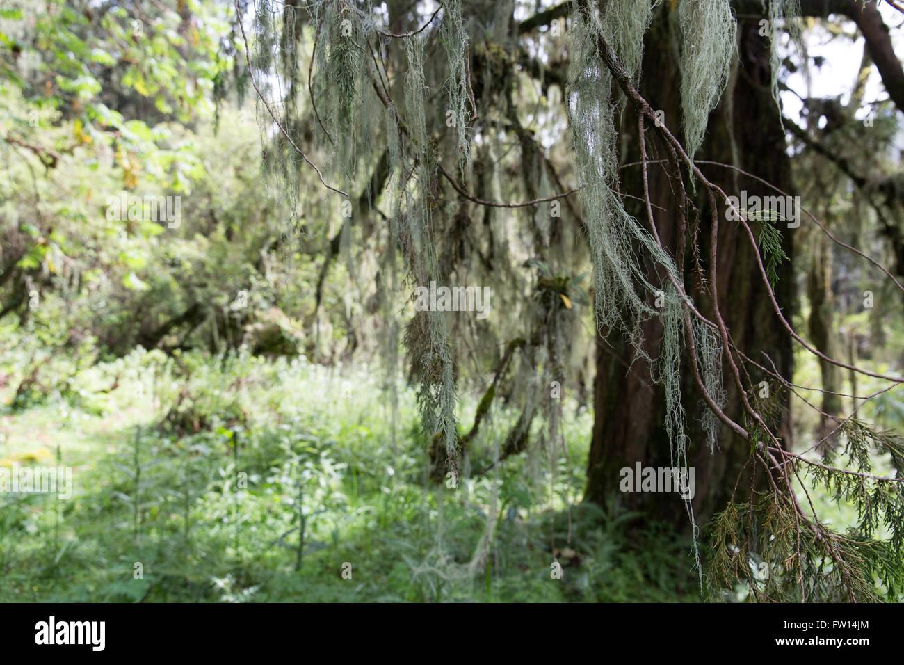 North Shewa,  Ethiopia, October 2013: Whispy  vegitation on forest juniper trees. - Stock Image