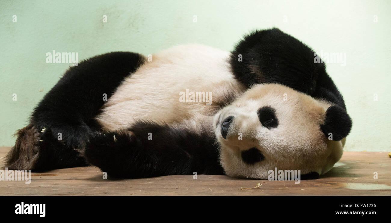 Yang Guang, the male giant panda in Edinburgh Zoo, Scotland. The giant pandas originate from China. - Stock Image