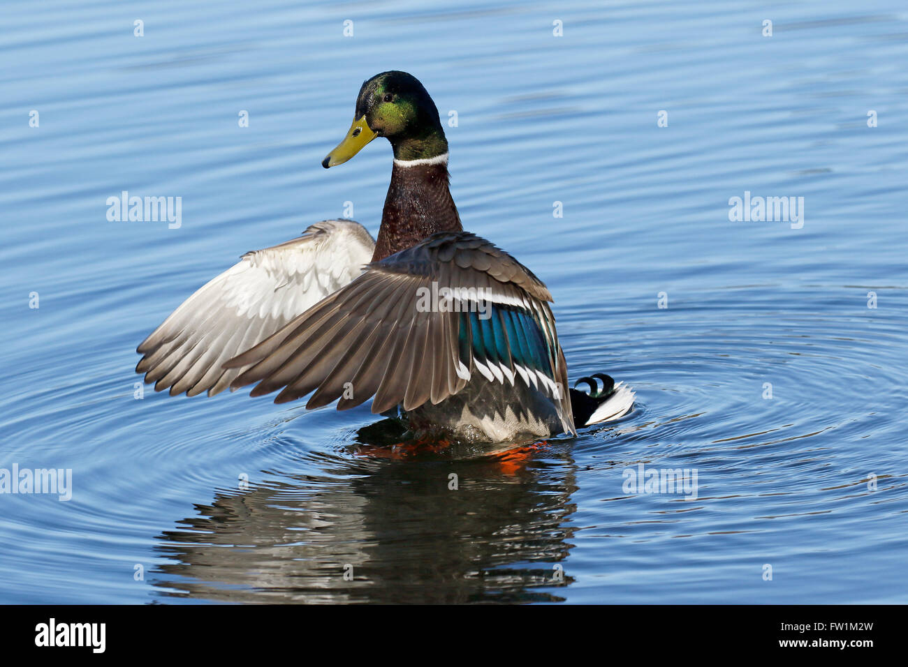 Mallard (Anas platyrhynchos), drake flapping his wings in the water, Switzerland - Stock Image