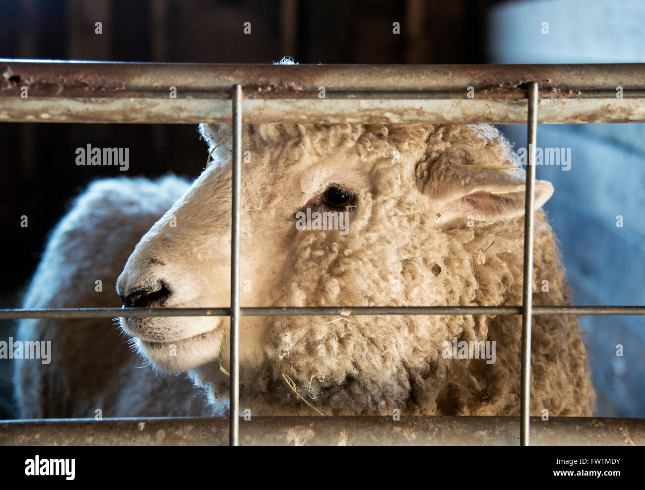 Sheep, Martha's Vineyard, Massachusetts, USA - Stock Image