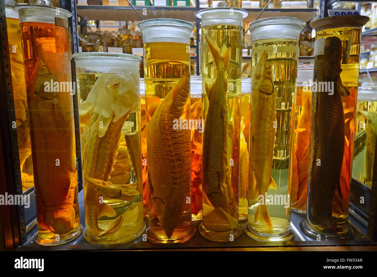 Glass cabinet with alcohol-preserved animal specimens, exhibits in The Wet Collections, Naturkundemuseum, Natural - Stock Image