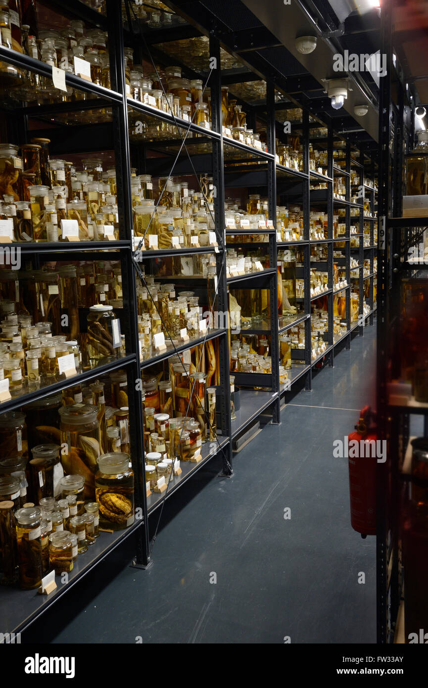 Shelves with alcohol-preserved animal specimens, exhibits in The Wet Collections, Naturkundemuseum, Natural history - Stock Image
