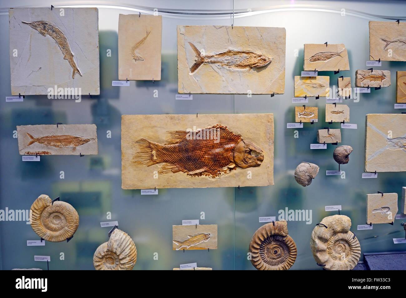Various underwater animal fossils, Naturkundemuseum, Natural history museum, Berlin, Germany - Stock Image