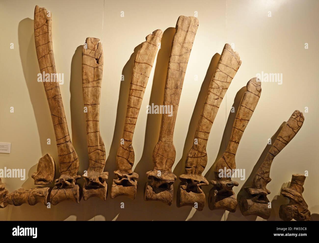 Part of the spine and back bones of the biggest carnivorous dinosaur (Spinosaurus aegyptiacus), Naturkundemuseum - Stock Image