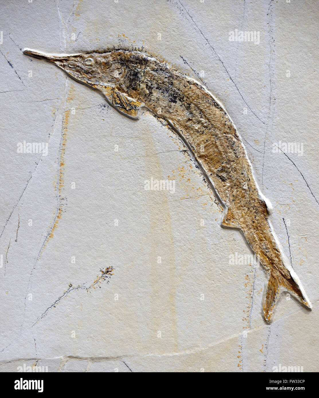 Fossil of Aspidorhynchus acutirostris (Aspidorhynchus acutirostris), extinct genus of ray-finned fish, Naturkundemuseum - Stock Image