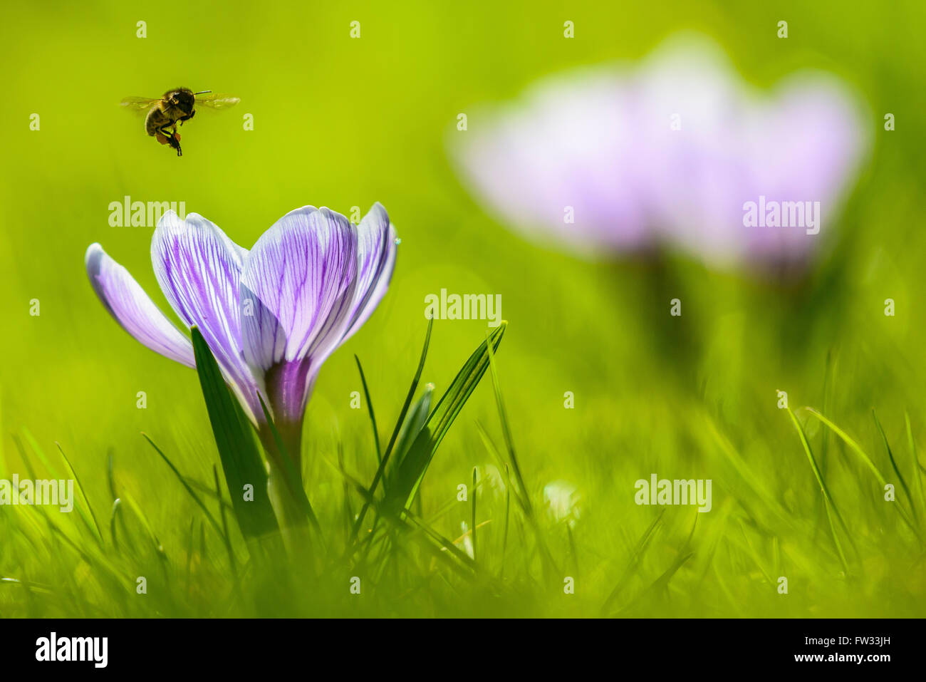 Crocus (Crocus sp.) with an approaching bee (Apis) in flight, Bavaria, Germany - Stock Image