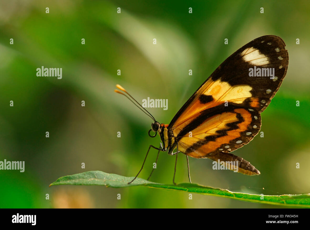Nymphalidae (Nymphidae) Tropical butterfly (Mechanitis lysimnia), Iguazú National Park, Paraná, Brazil - Stock Image