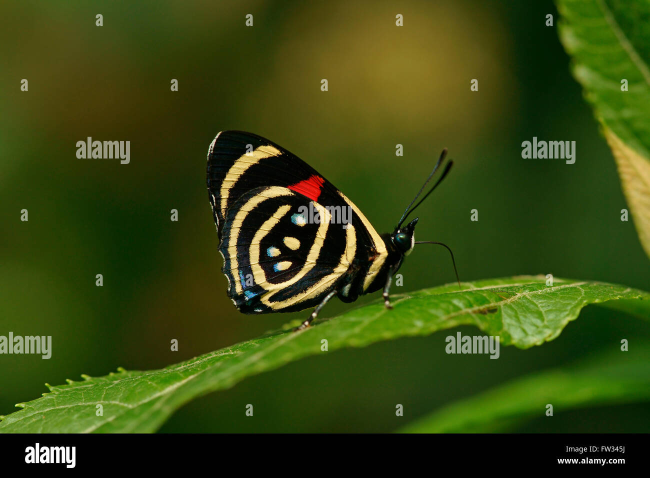 Nymphalidae (Nymphidae) Tropical Butterfly, Hydaspes Eighty-eight or Little Callicore (Callicore hydaspes) - Stock Image