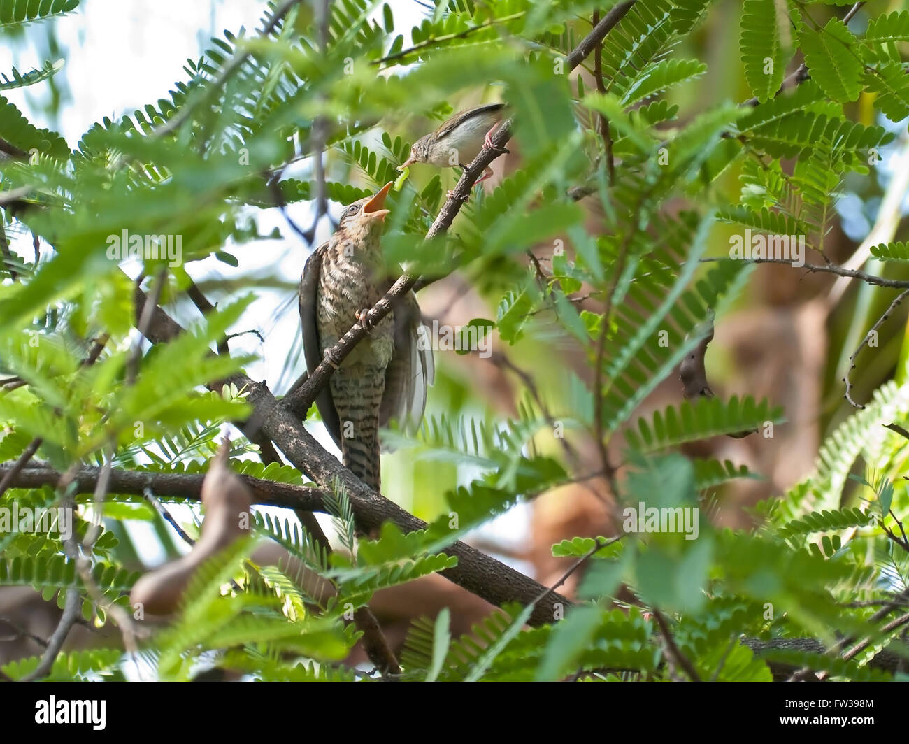 Common Tailorbird feeding Female Asian Koel like stepmother - Stock Image