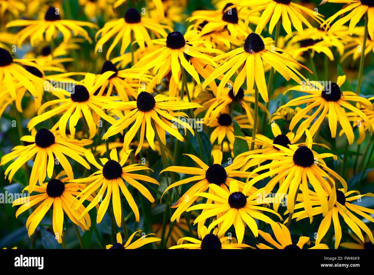 Gewoehnlicher Sonnenhut (Rudbeckia fulgida) - Stock Image