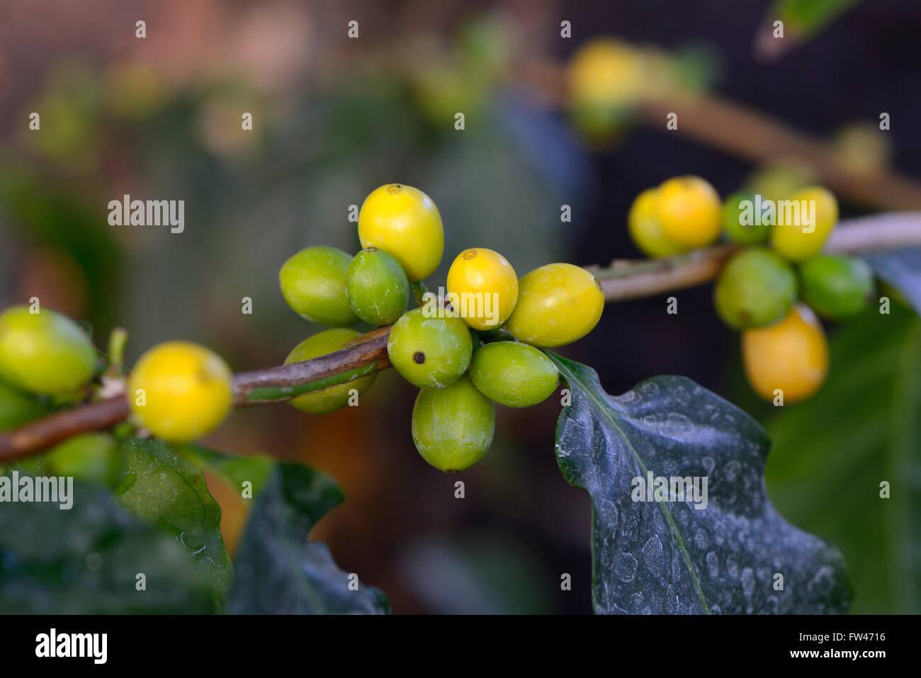 Afrikanischer Kaffee, Coffea stenophylla, Westafrika - Stock Image