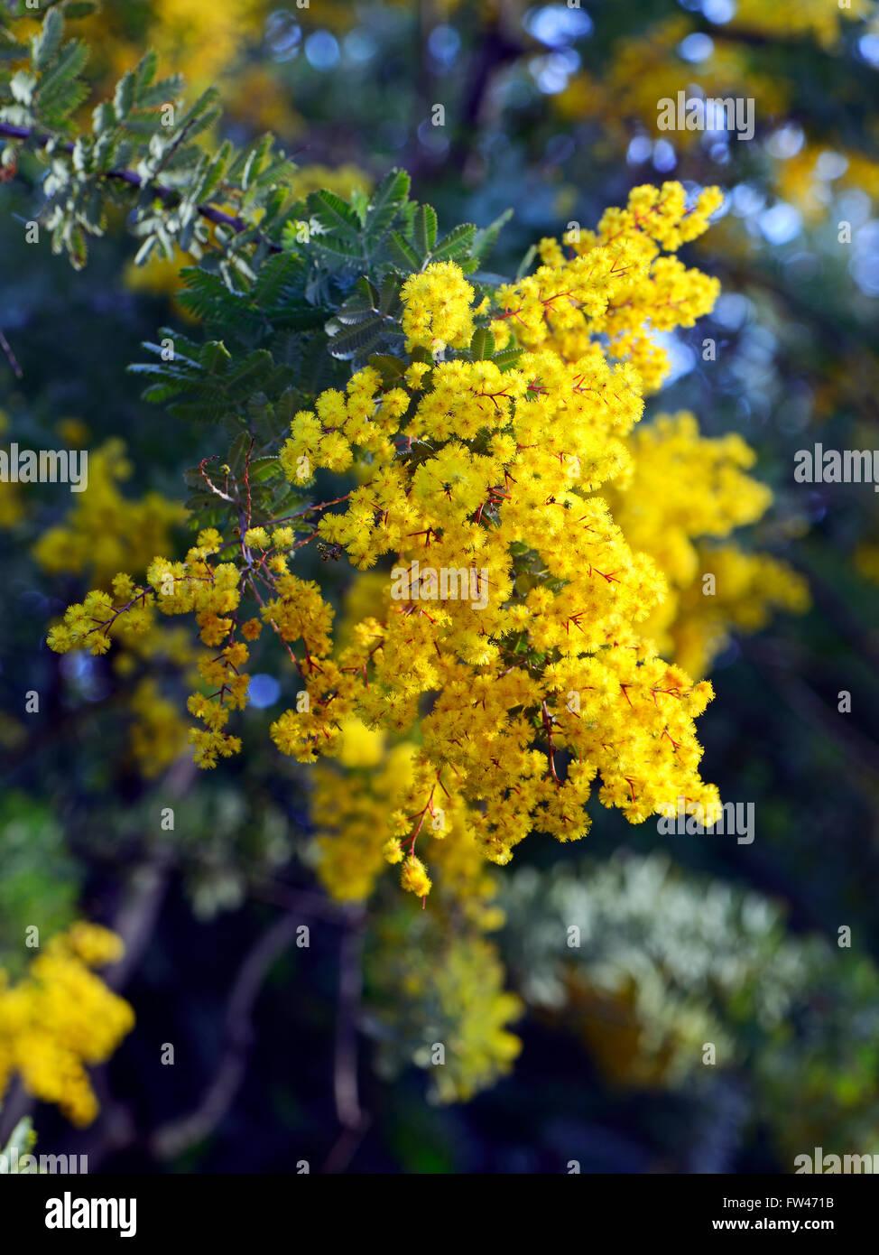 Baileyana Stock Photos Baileyana Stock Images Alamy