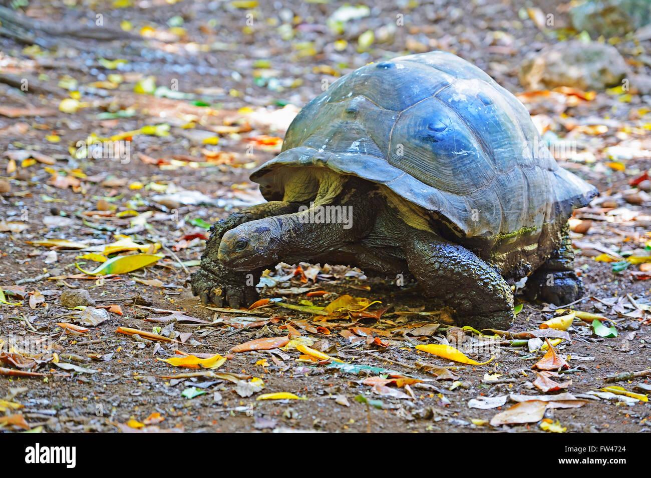 Aldabra-Riesenschildkroete (Geochelone gigantea), Insel Cousin, Seychellen - Stock Image