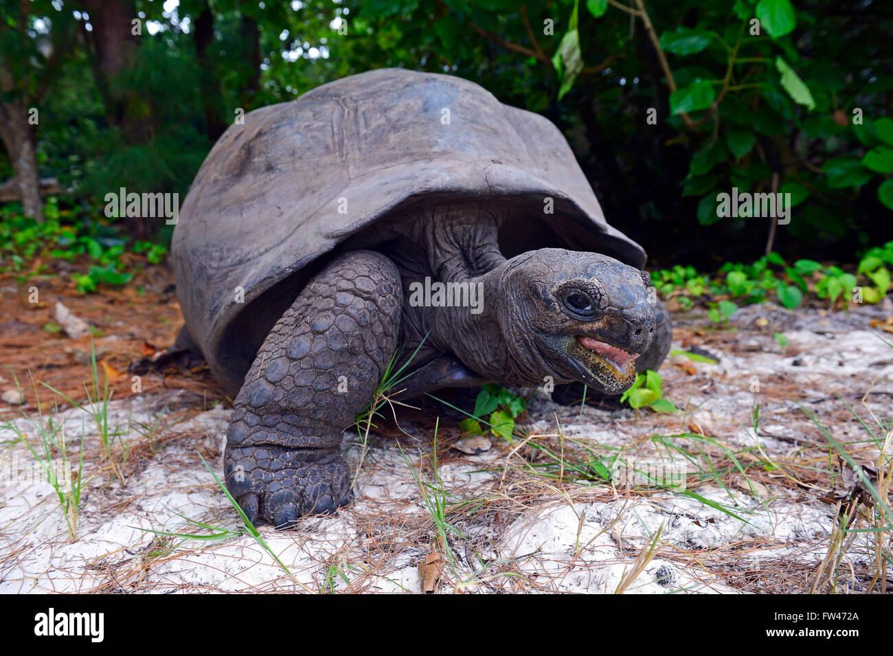 Aldabra-Riesenschildkroeten (Geochelone gigantea), endemisch, Insel Curieuse, Seychellen - Stock Image