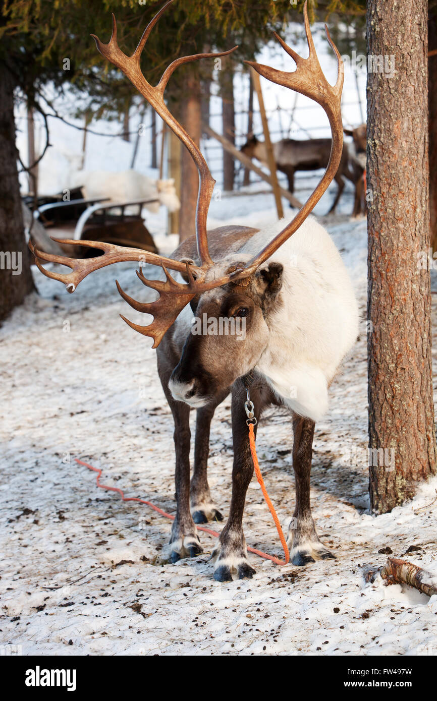 Reindeer with big antlers in Lapland of Finland Stock Photo