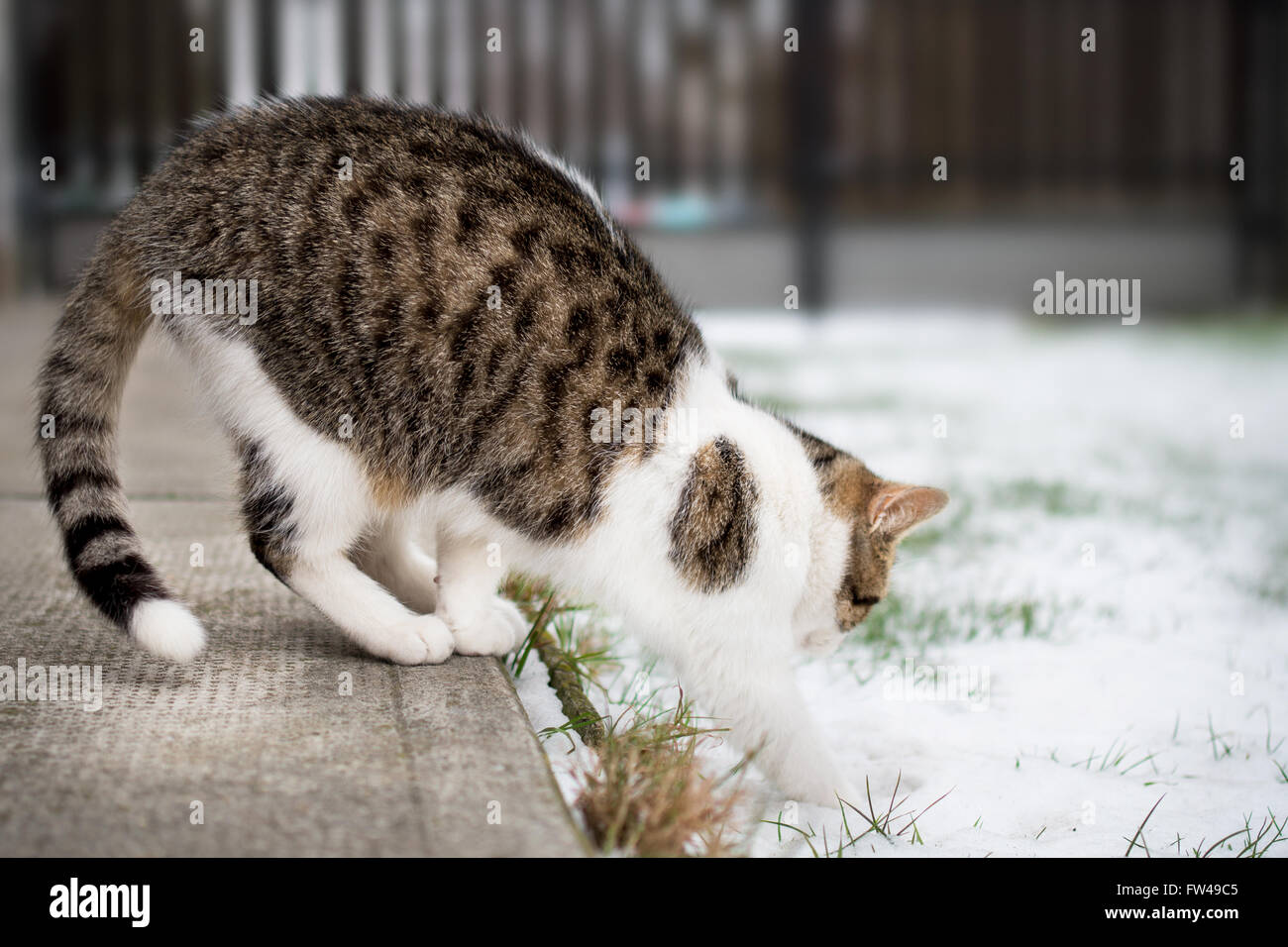 Young cat's first step into snow in winter - Stock Image