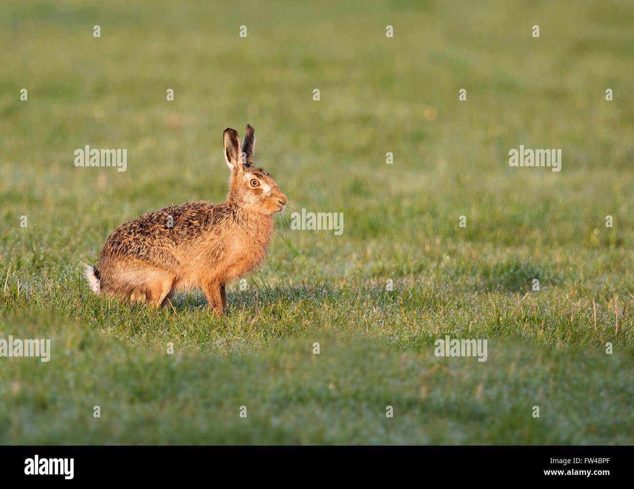 Brown Hare Lepus europaeus enjoying warmth of early morning sunshine, Warwickshire - Stock Image