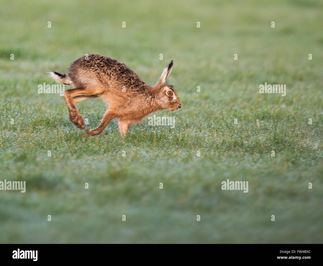 Brown Hare Lepus europaeus running, Warwickshire - Stock Image