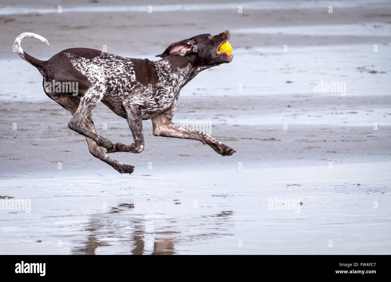 A dog running playing catch on a beach at Westward Ho in Devon, UK - Stock Image