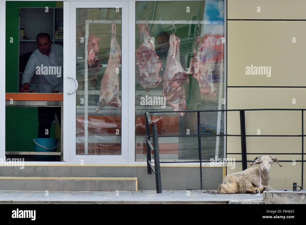 BAKU, AZERBAIJAN - MARCH 03 2014 A sheep tied up outside a butcher's shop awaiting slaughter.  Animals are often - Stock Image