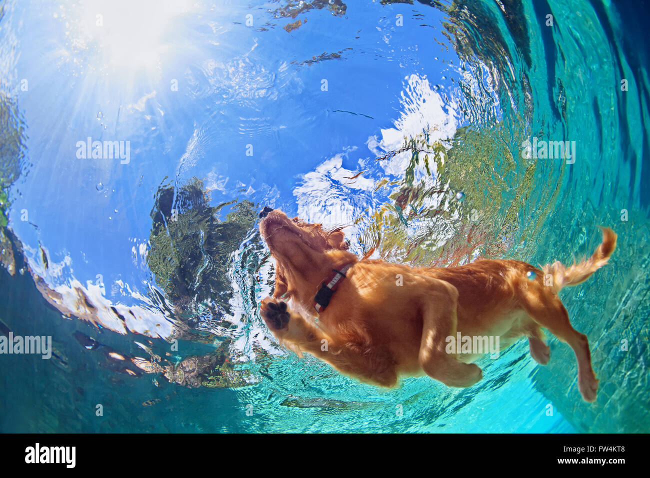 Underwater photo of golden labrador retriever puppy in outdoor swimming pool play with fun - jumping and diving Stock Photo
