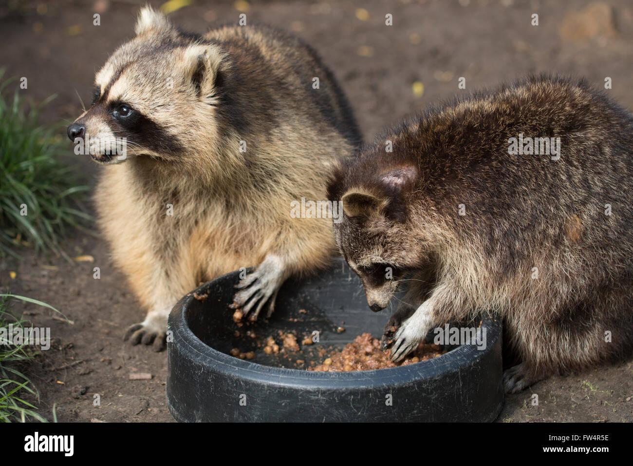 Raccoon Eating Stock Photos Images