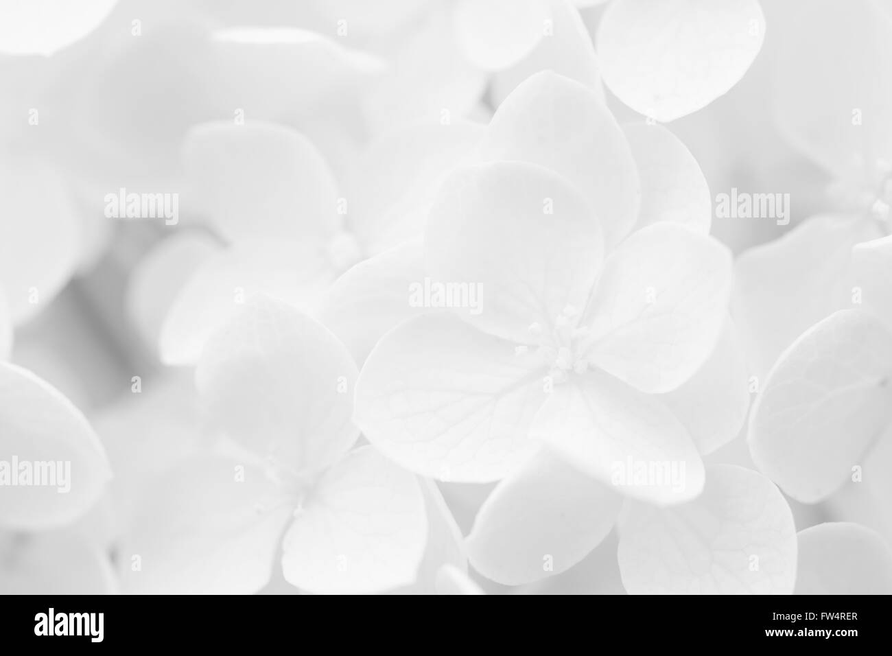 Hydrangea, Hortensia, blurred for background or template - Stock Image