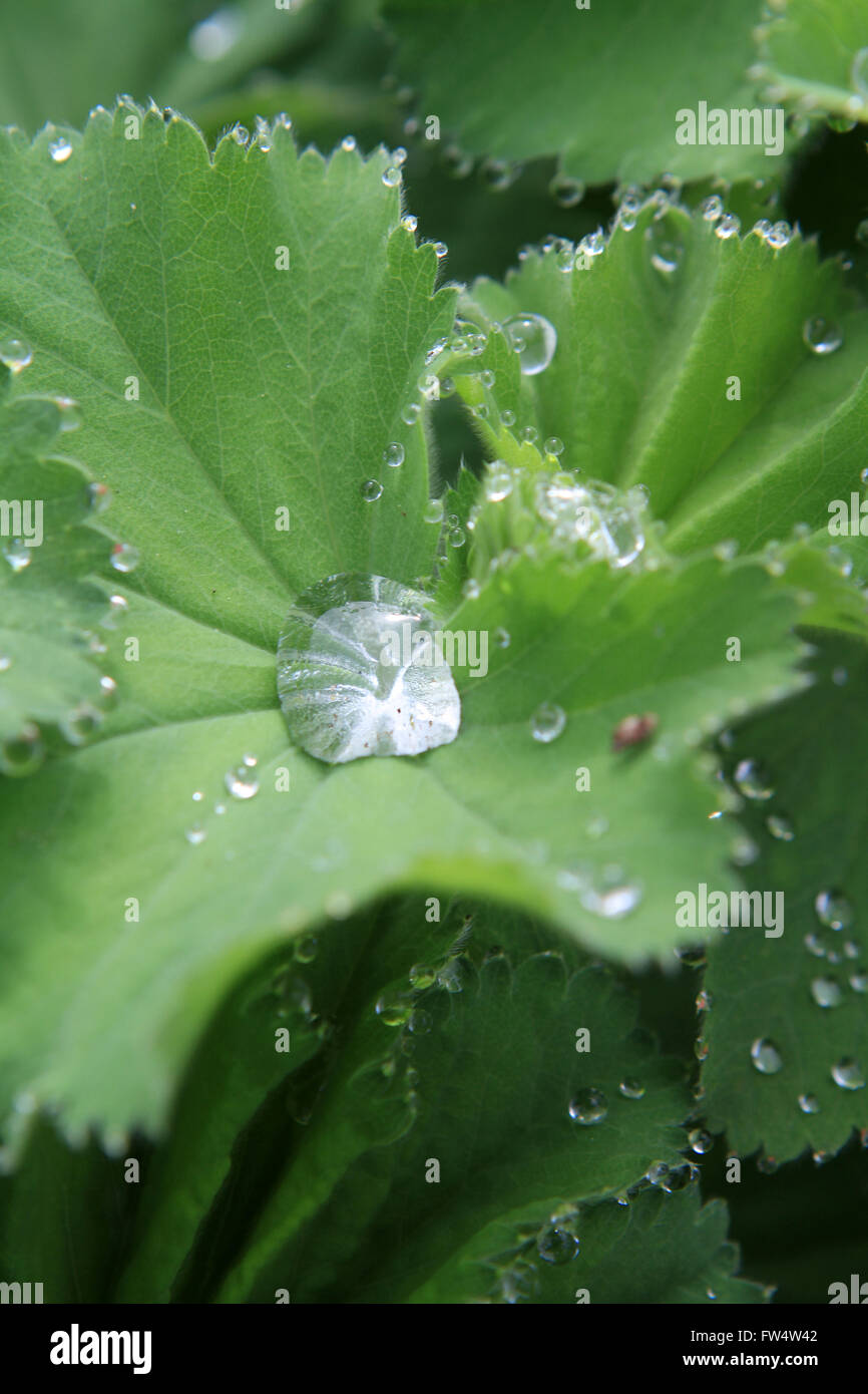ladies mantle with dew drops on leaves - Stock Image