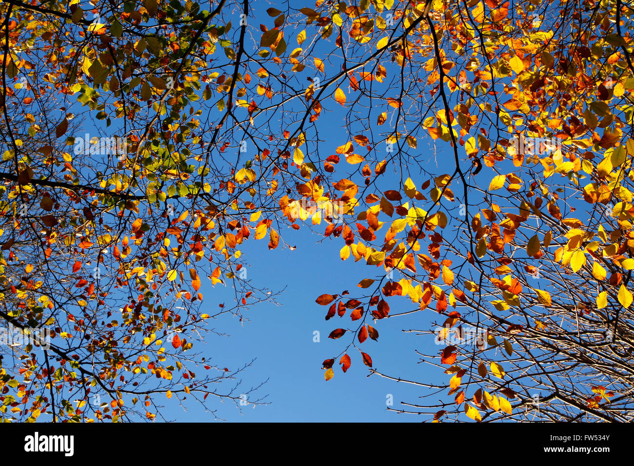 Orange and yellow autumn leaves against a blue sky - Stock Image