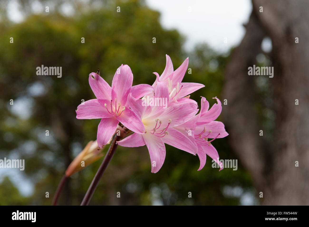 Wild liliums flowering in March along Caves Road, Margaret River, Western Australia - Stock Image