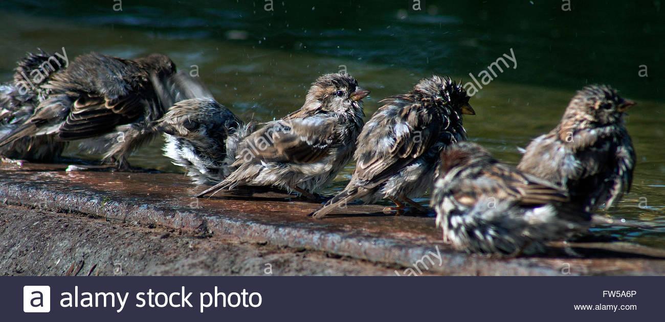 Sparrows near a basin, Paris - Stock Image