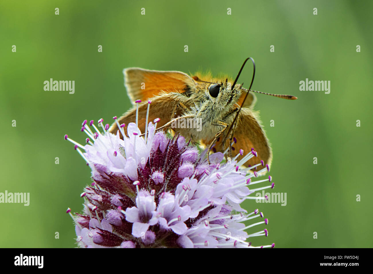 Moth drinking Nectar from flower - Stock Image