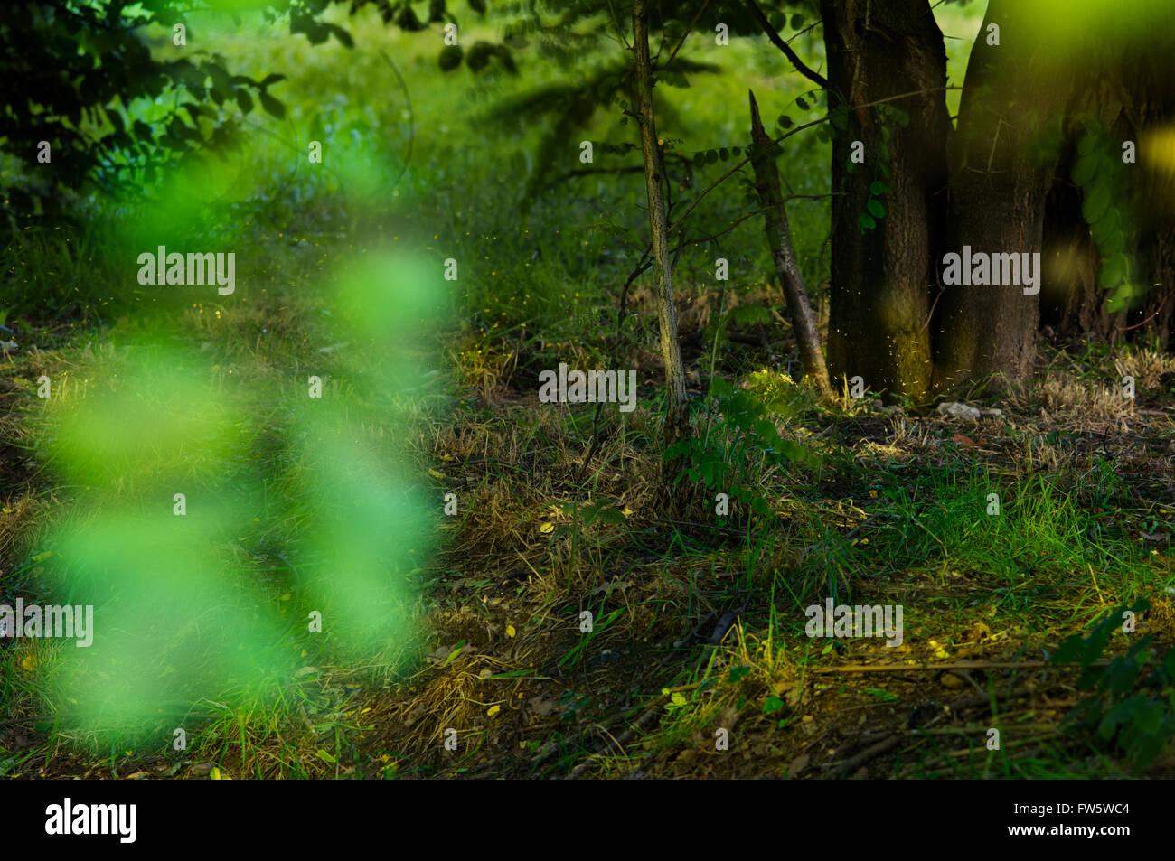 Minuscole lucciole illuminano il sottobosco - Stock Image