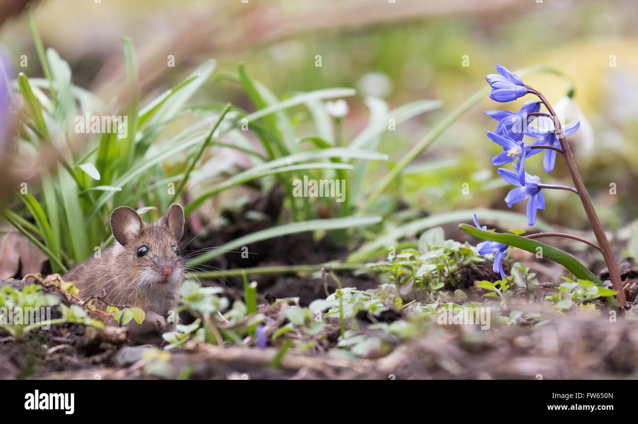 House mouse (Mus musculus), Hesse, Germany - Stock Image