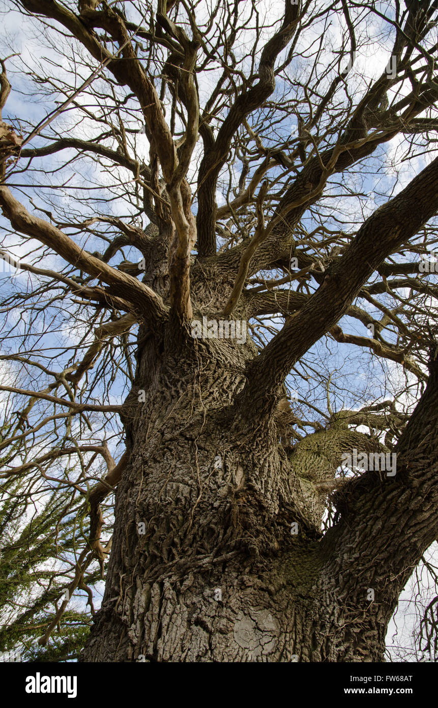 Detail of an old mighty oak tree at spring - Stock Image