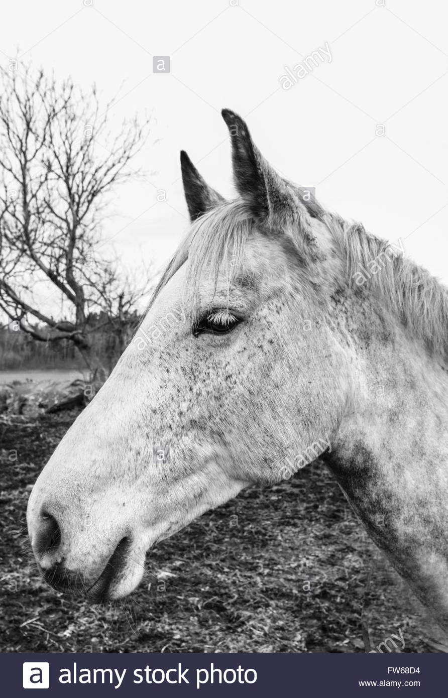 Monochromatic portrait of white/grey horse in profile - Stock Image