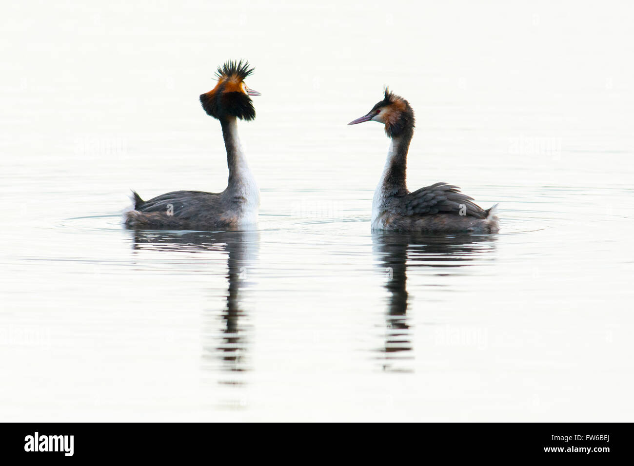 Great crested grebes performing a courtship display - Stock Image