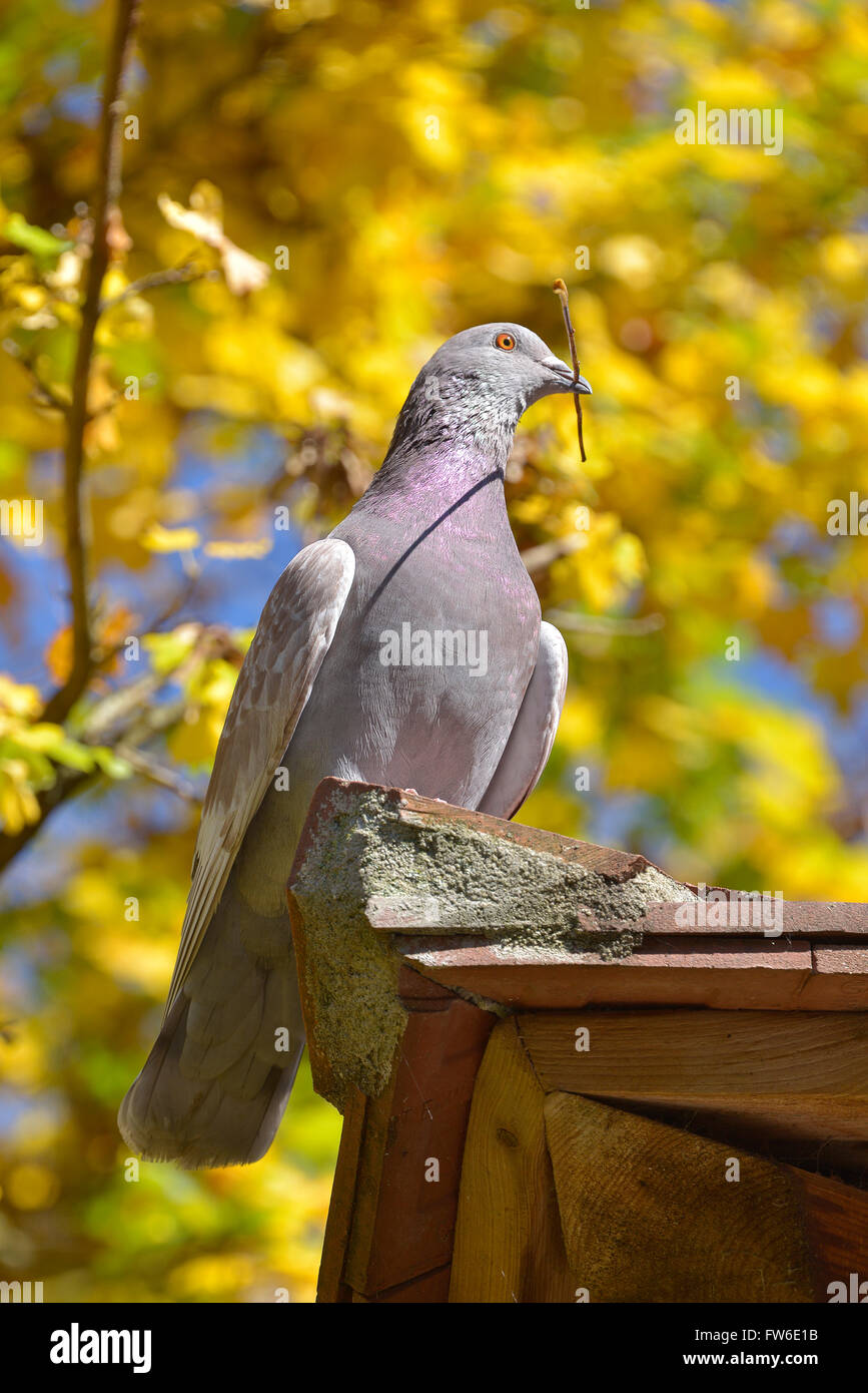 Pigeon with twig in the beak on background of fall foliage - Stock Image