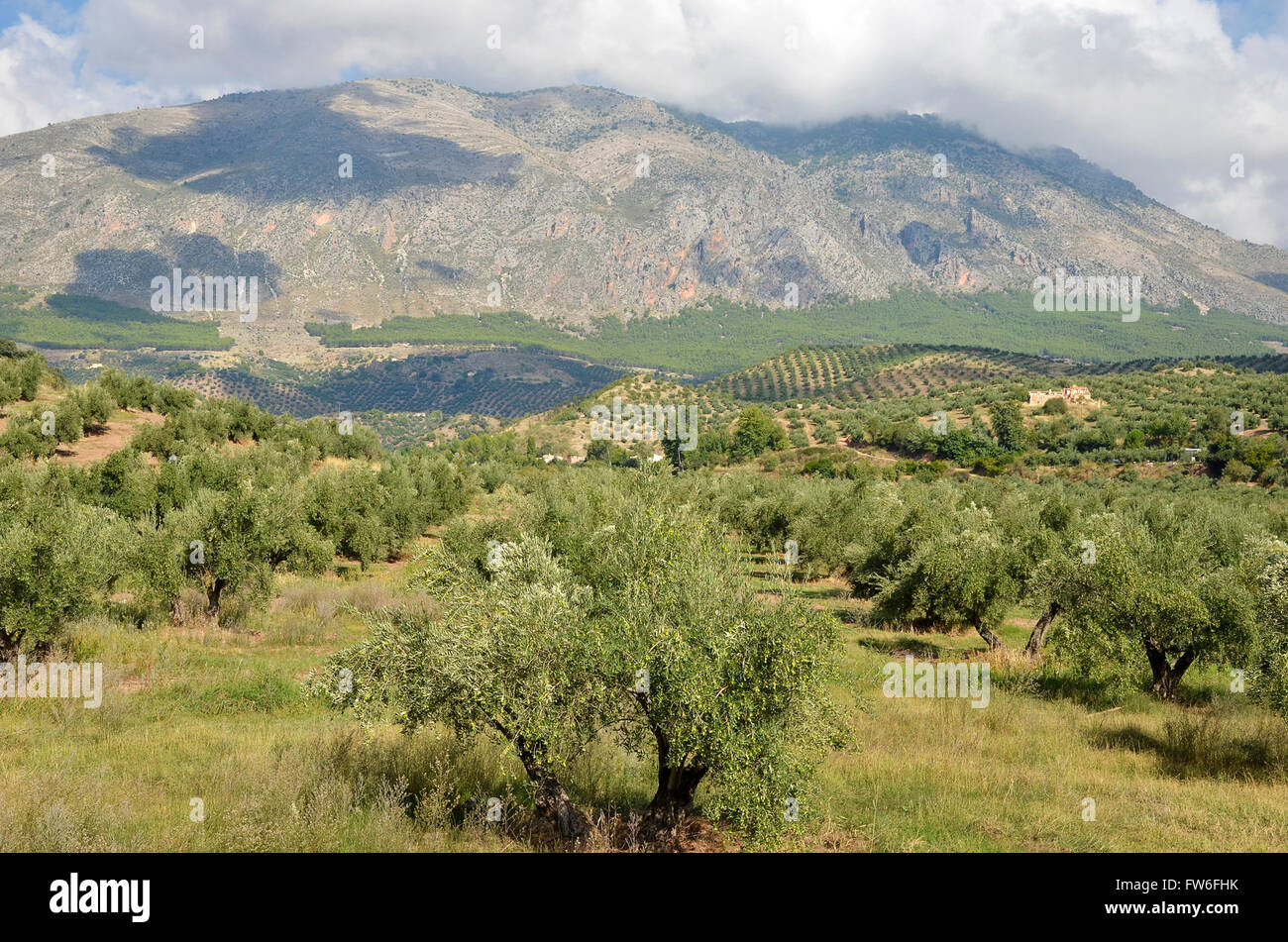 olive groves in Jaen and Sierra Magina, andalucia - Stock Image