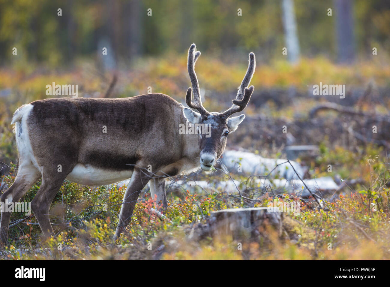 Reindeer looking in to the camera, standing in blue berry bushes in autumn season and autumn colors is seen, Gällivare, - Stock Image