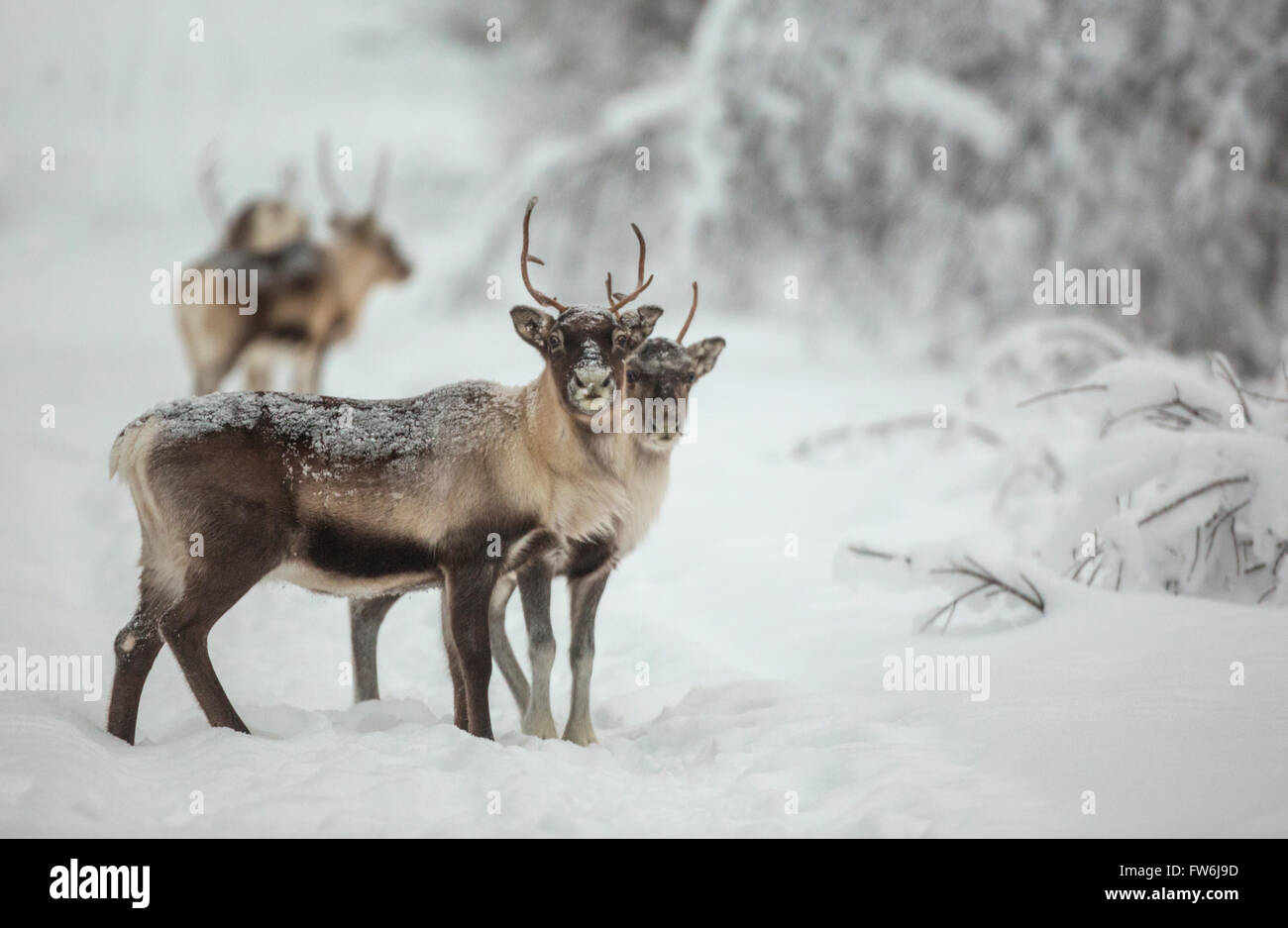 Reindeer standing in forest in winter season looking in to the camera, Gällivare, Swedish Lapland, Sweden - Stock Image