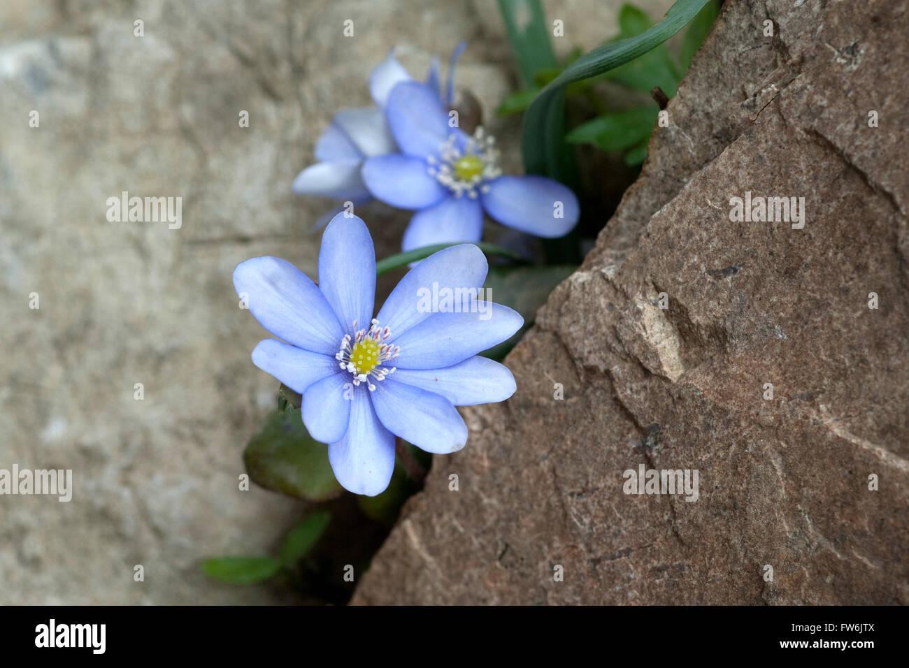 Leberbluemchen; Hepatica; nobilis Stock Photo